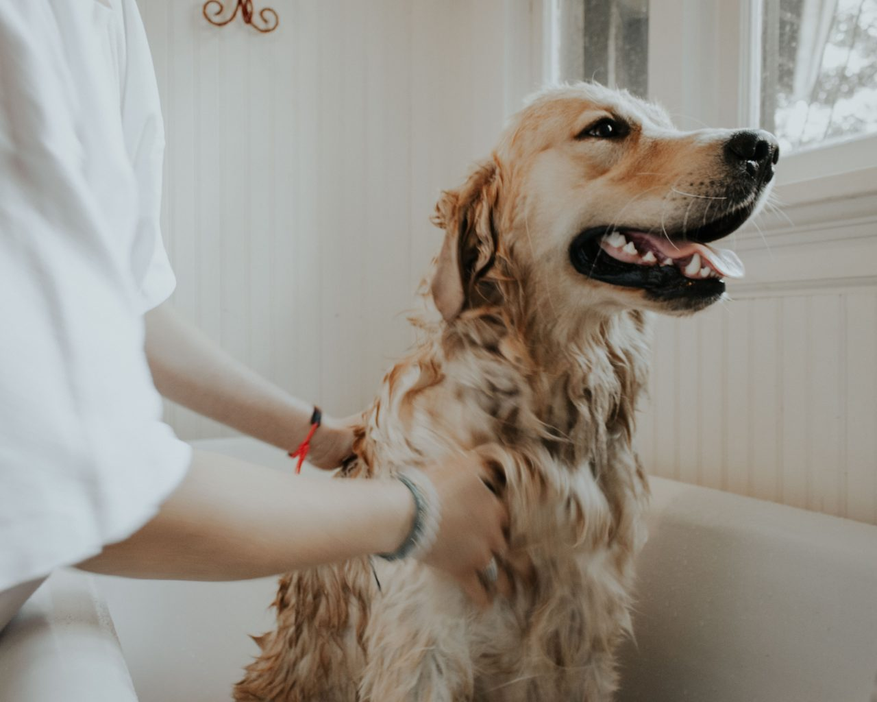 Golden Retriever wird in Badewanne gebaded
