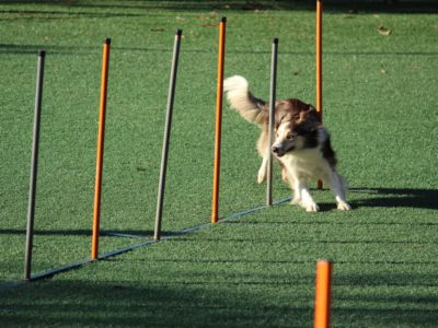Hund macht Agility Training