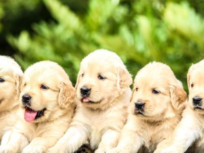 5 Golden Retriever Welpen