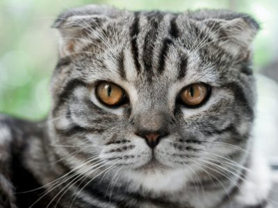 Grau getigerte Scottish Fold